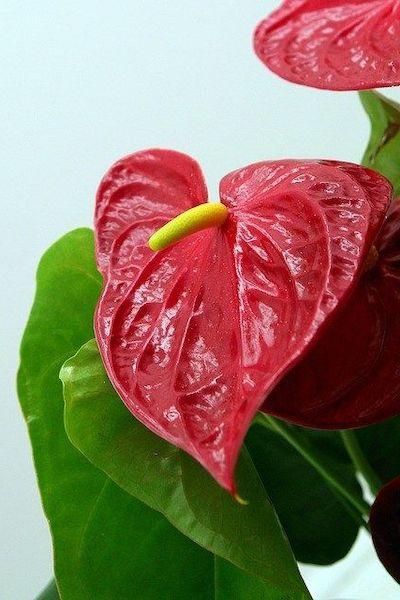 anturio fiori