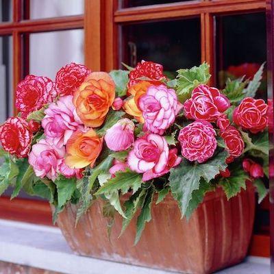 begonia pianta balcone