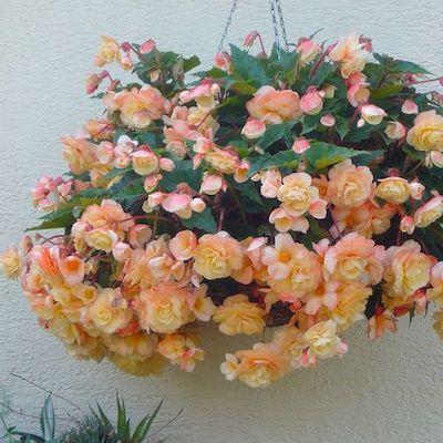 begonia pianta interni