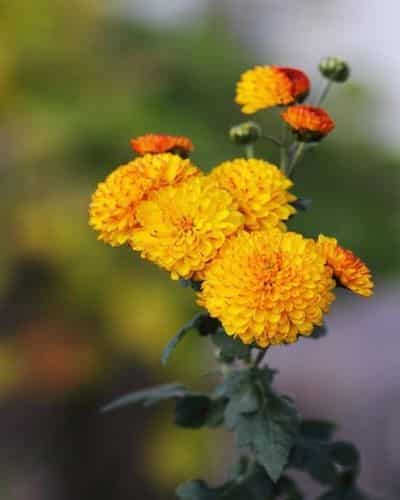 crisantemo pianta
