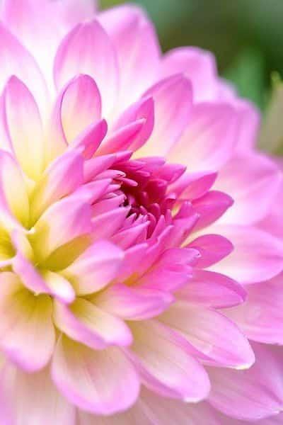 dahlia fiore colorato