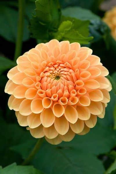 dahlia fiore giallo