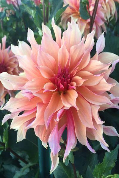dahlia fiore rosa