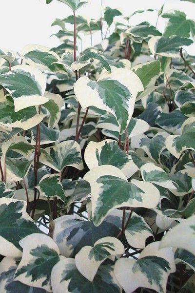 edera comune foglie