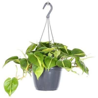 filodendro pianta