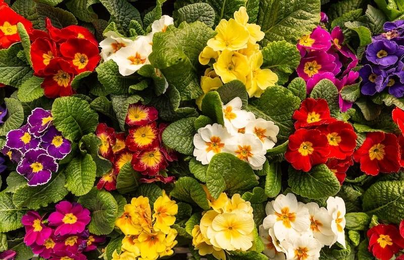 fiore primaverile primula