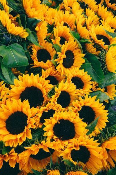 girasole fiori