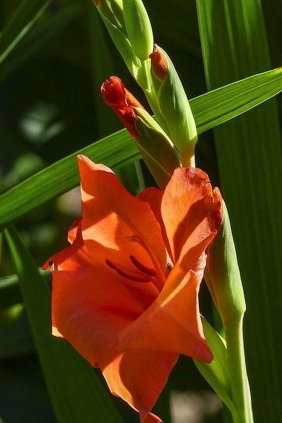 gladiolo fiore rosso