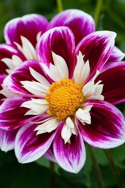 gladiolo fiore viola