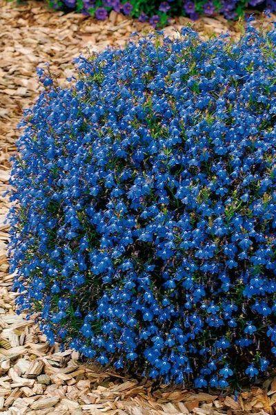 lobelia blu