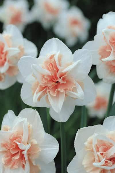 narciso fiori bianchi
