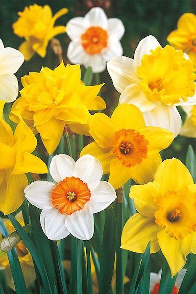 narciso fiori gialli