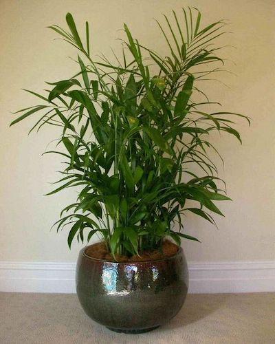 palma di bamboo pianta