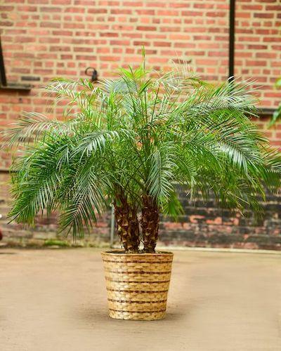 palma di bamboo