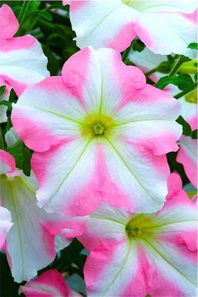 petunia fiori colorati