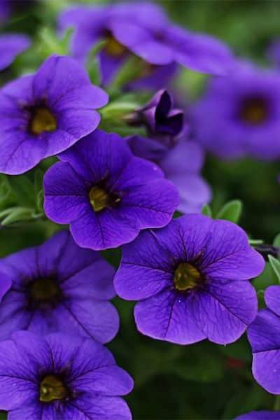 petunia fiori viola