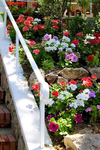 piante geranio
