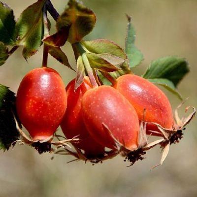 rosa mosqueta frutto