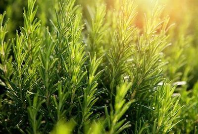 rosmarino pianta