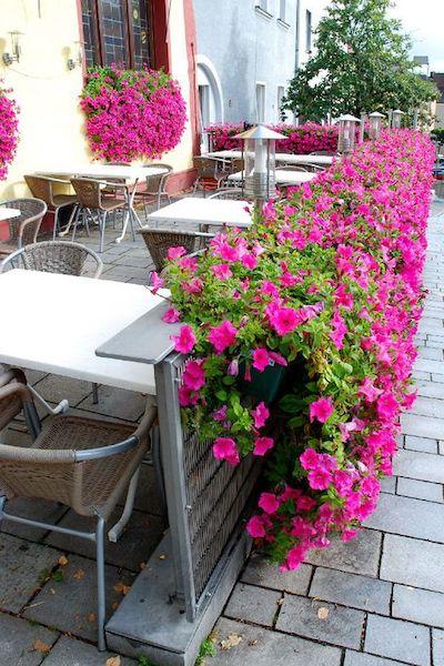 surfinia fiori rosa