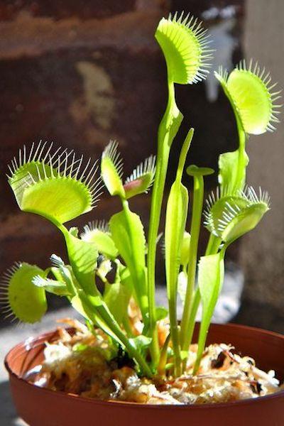 dioniaea mascipula pianta carnivora
