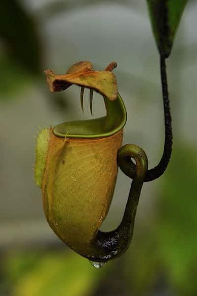 nephentes pianta carnivora