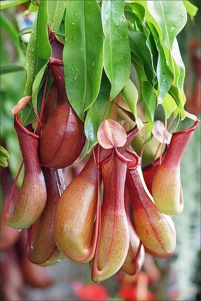 pianta carnivora mangia insetti nephentes