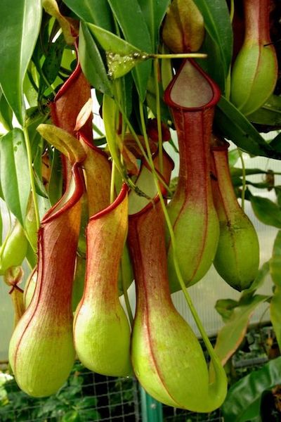 nephentes pianta carnivora mangia insetti
