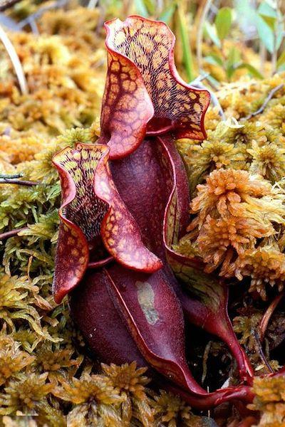 serracenia purpurea pianta carnivora mangia insetti