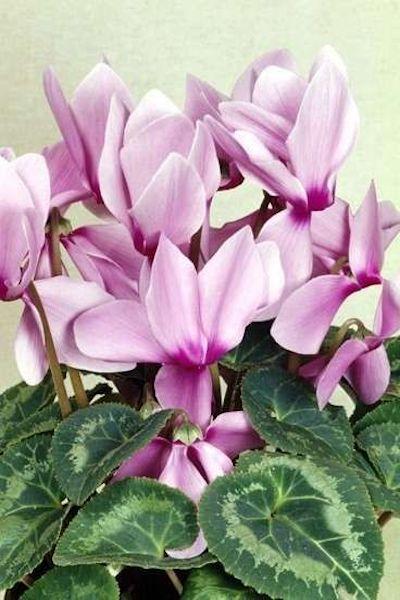 orchidea benefici
