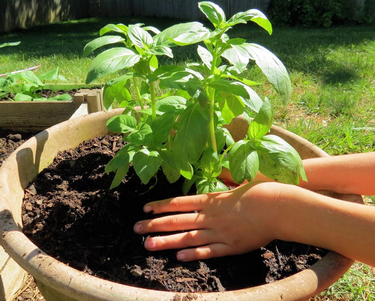 come piantare basilico in vaso