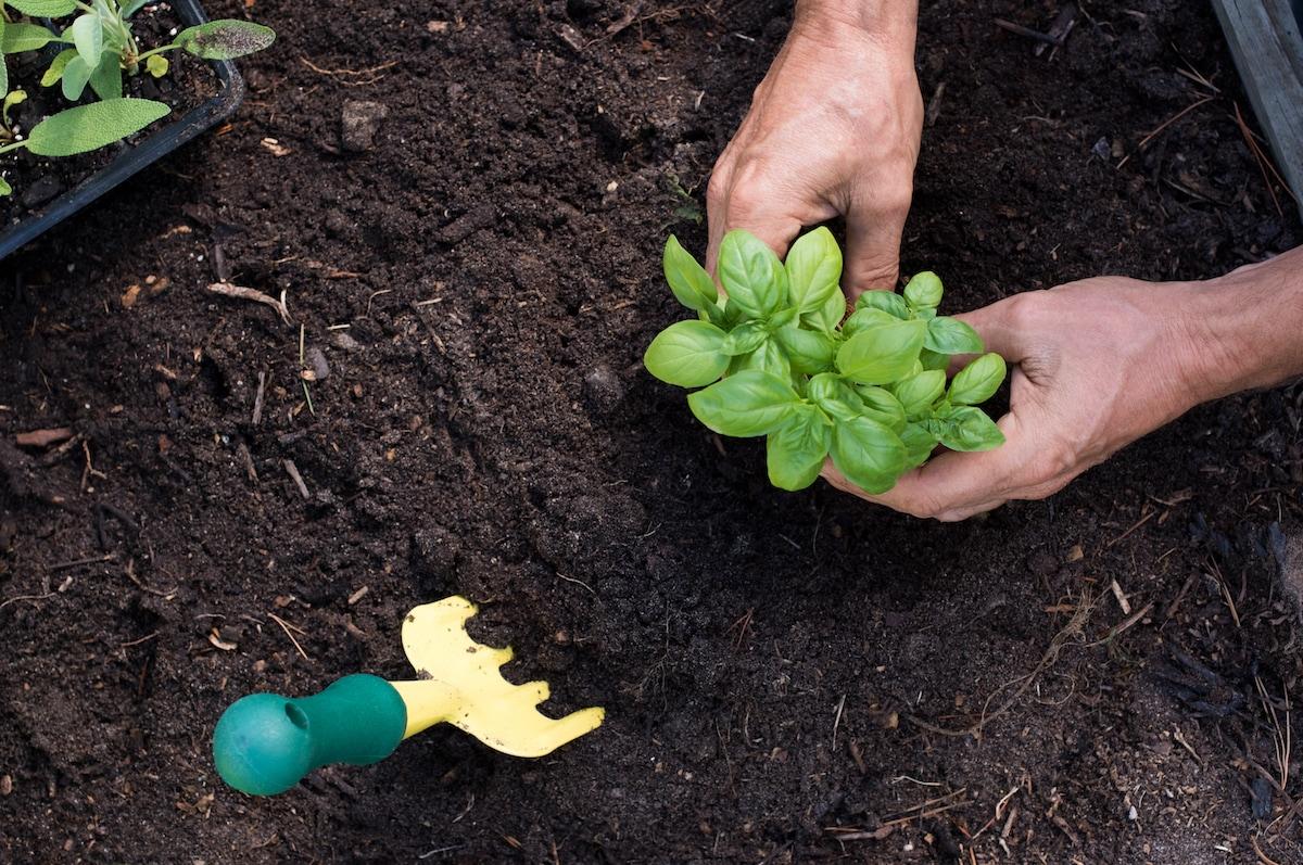 preparazione terreno coltivazione basilico