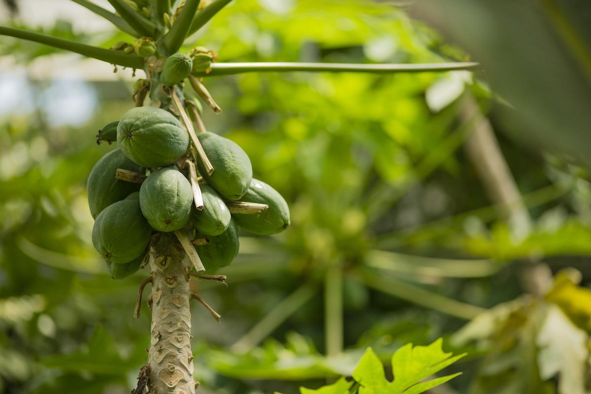 albero di avocado caratteristiche
