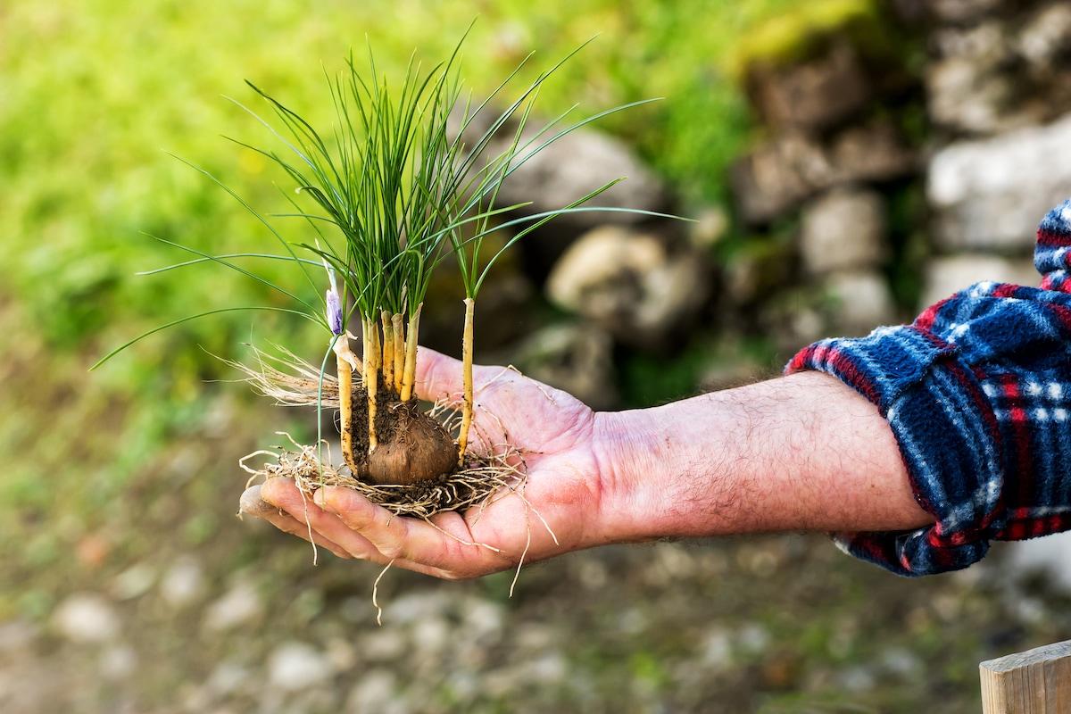 caratteristiche pianta di zafferano