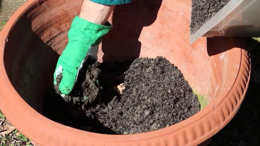 coltivare zenzero in vaso